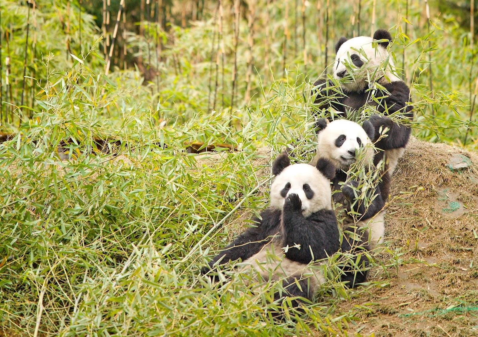 大熊貓。圖片來源:wiki