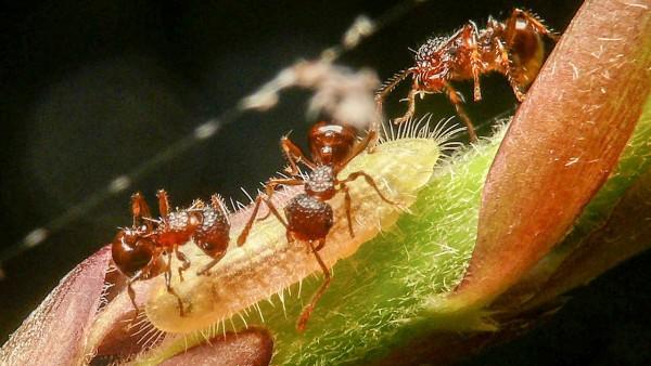 螞蟻與日本紫灰蝶幼蟲。圖片來源:Science Now