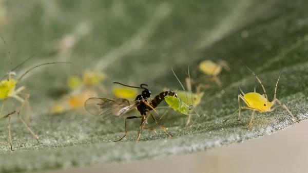蚜蟲與寄生蜂。圖片來源:Science
