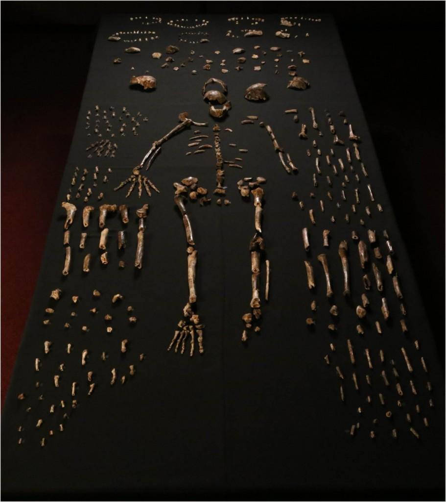 新星洞穴出土的納萊蒂人所有骨骸化石(Berger, Lee R. et al. (2015). eLife 2015;4:e09560)