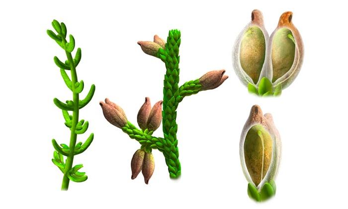 Montsechia vidalii。圖片來源:PNAS