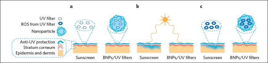 生物吸附性奈米粒子示意圖。(a)陽光照射前 (b)陽光照射時 (c)陽光照射後。 UV filter:吸收紫外光的分子、ROS from UV filter:分子吸收紫外光後產生的活性氧化物、Nanoparticle:生物吸附性奈米粒子、Anti-UV protection:能有效吸收紫外光的區域、Stratum corneum:角質層、Epidermis and dermis:表皮層及真皮層、Sunscreen:一般防曬乳、BNPs/UV filters:生物吸附性奈米粒子/吸收紫外光的分子。