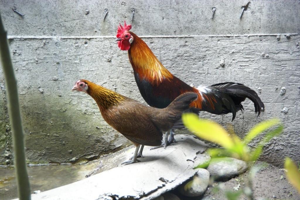 來自東南亞的家雞祖先──紅原雞(red jungle fowl,Gallus gallus)(黃貞祥攝)