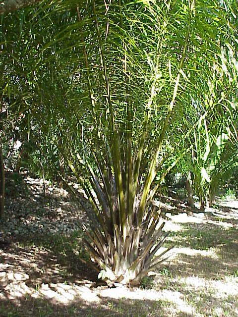 非洲油棕(Elaeis guineensis)。圖片來源:wiki