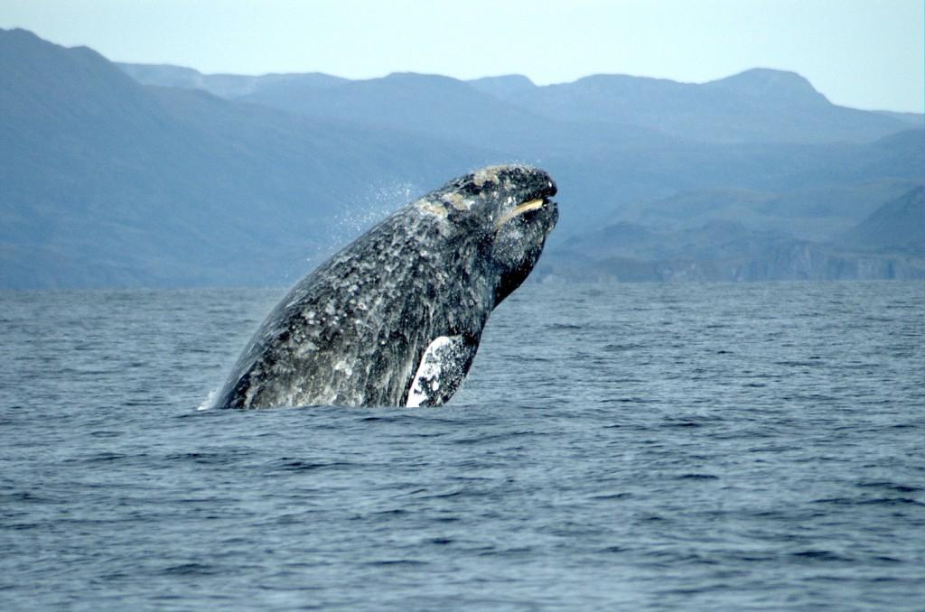 一隻灰鯨躍出水面。圖片取自維基百科。