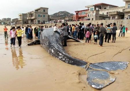 在福建外海誤觸魚網的灰鯨,被帶回海灘上等待處理的現場。圖片來源:http://www.whatsonxiamen.com/news22185.html