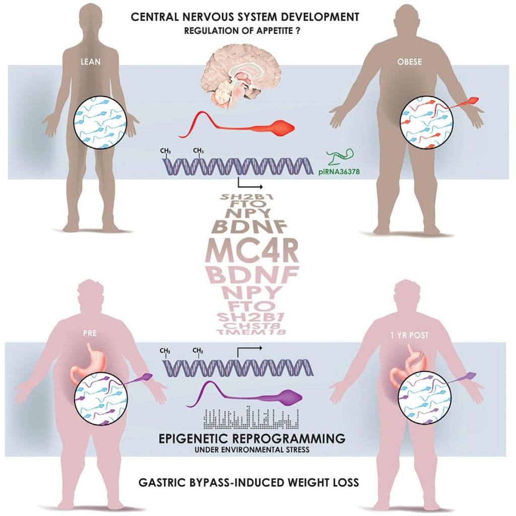 肥胖和食道分流手術改變了精子的表觀遺傳標記(Donkin and Versteyhe et al. Cell Metabolism. DOI: 10.1016/j.cmet.2015.11.004)