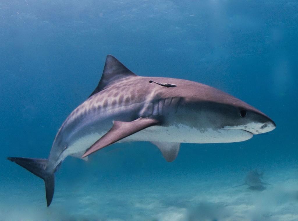 虎鯊。圖片來源:wiki