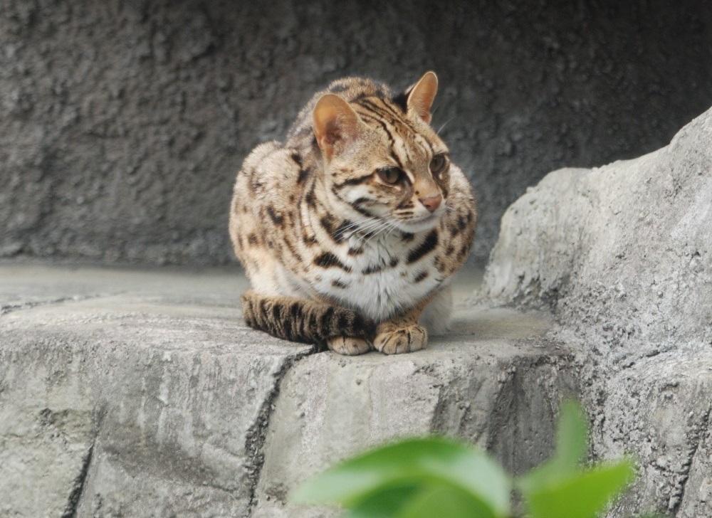 石虎(Kuribo, CC BY-SA 3.0)