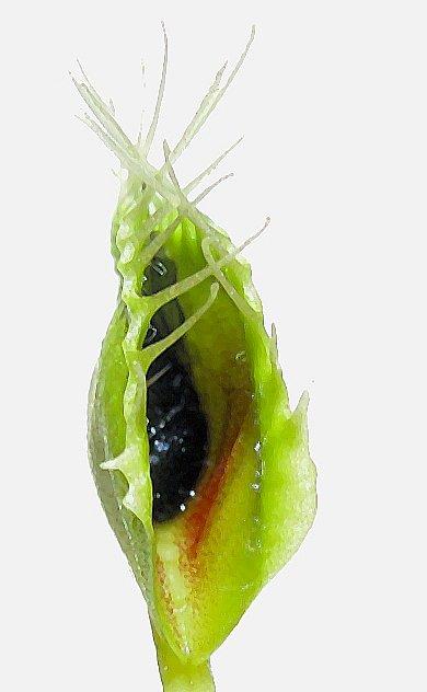 吃完蟲兒重新打開的捕蠅草葉片。圖片來源:wiki
