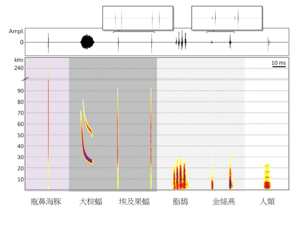 圖二:六種脊椎動物的回聲定位信號波形圖(waveform, 上圖)和頻譜圖(spectrogram, 下圖)。最上方的兩個附加框格意在顯示埃及果蝠和金絲燕的回聲定位訊號通常以雙答聲(double clicks)的形式發出。頻譜圖中的顏色由淺至深表示訊號在對應的音頻相對能量 (relative amplitude)由低至高。(圖片來源:Brinkløv, et al. 2013. Echolocation in Oilbirds and Swiftlets. Frontiers in Physiology, 4:123)
