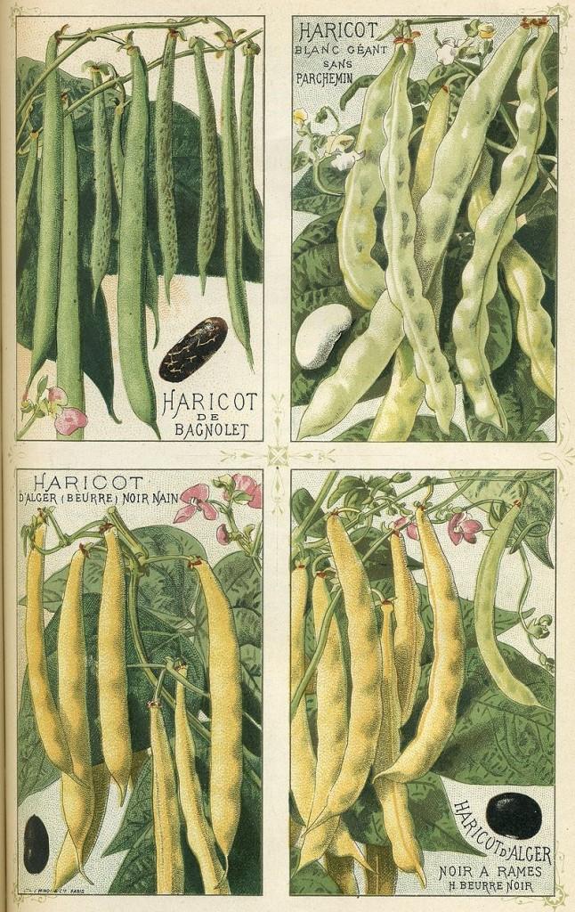 各種不同的菜豆。圖片來源:wiki