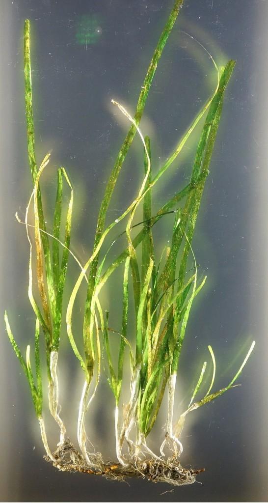 大葉藻。圖片來源:wiki