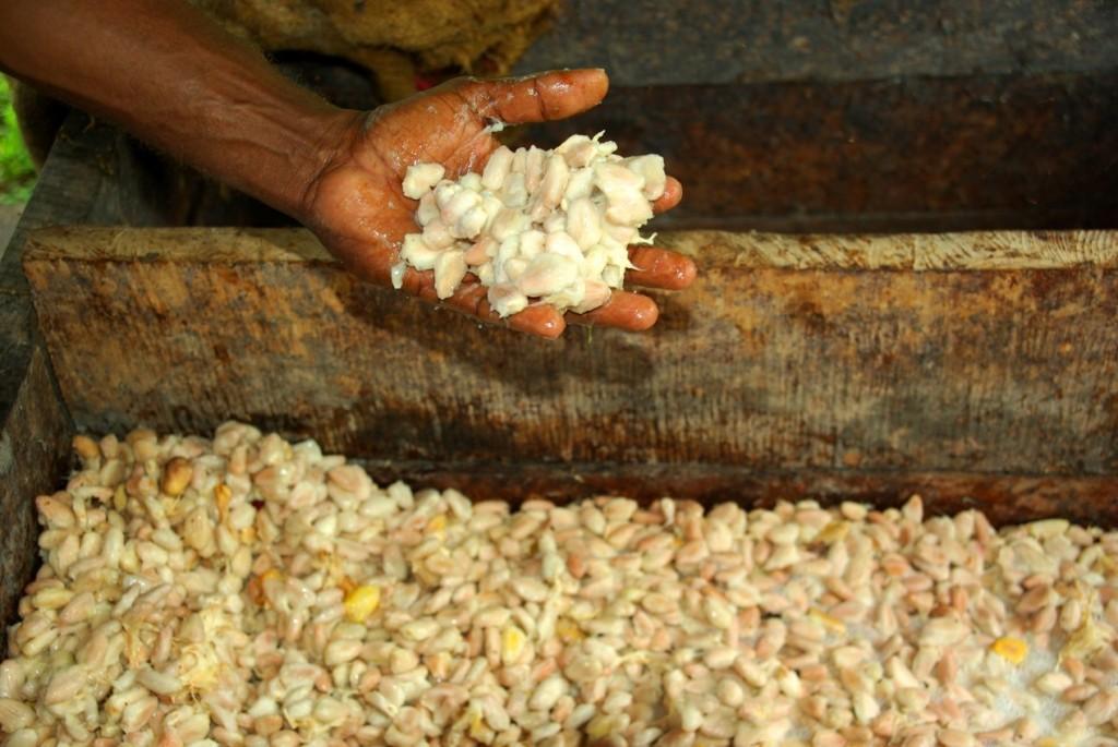 發酵的可可豆(Photo credit: Irene Scott/AusAID,CC BY 2.0)