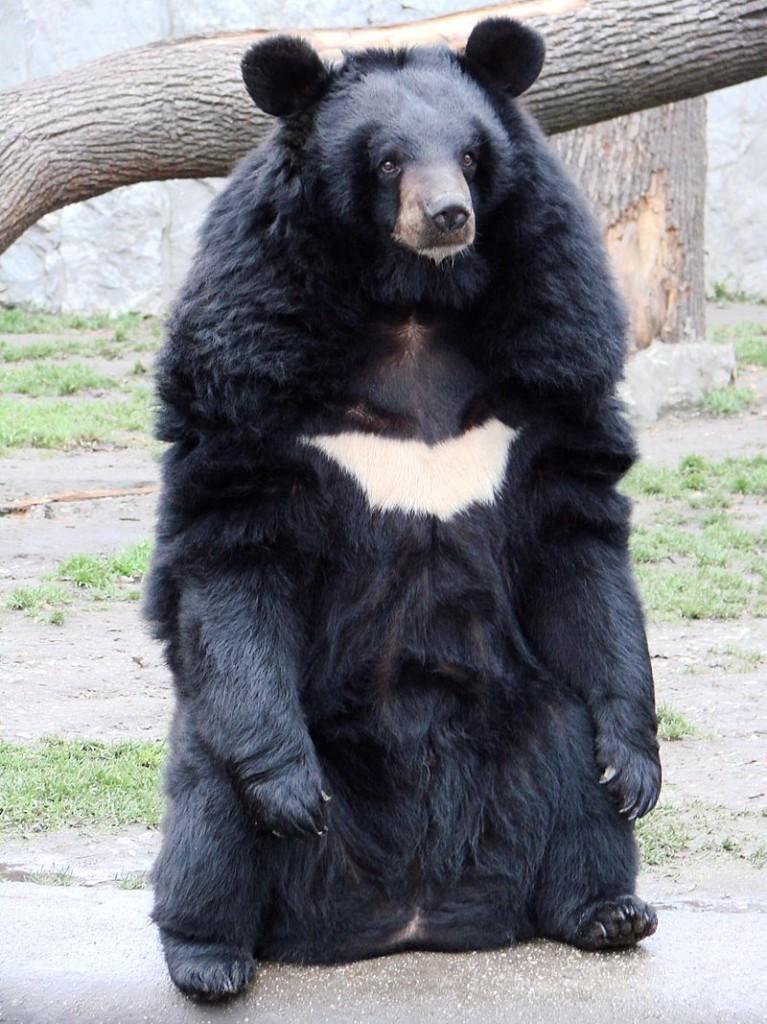 亞洲黑熊。圖片來源:Wiki
