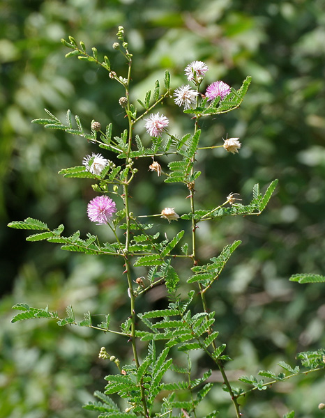 含羞草。圖片來源:wiki