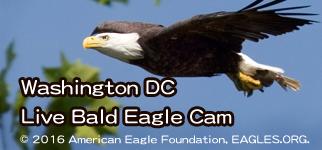 Washington DC Live Bald Eagle Cam Live直擊 在華盛頓兩隻剛出生的白頭鷹!