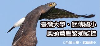 鳳頭蒼鷹繁殖監控-台灣大學、銘傳國小