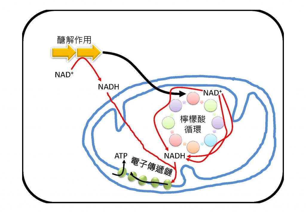 細胞呼吸作用。圖片來源:老葉