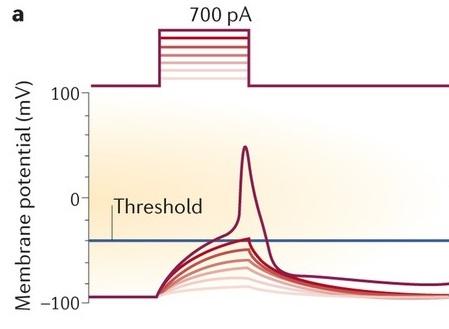 圖一:不同顏色代表不同強度電流(上排)造成神經元膜電位隨時間的變化(下排)。此圖取自[1]。