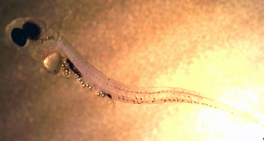 胃裡塞滿塑膠微粒的幼魚。圖片來源:ScienceNews
