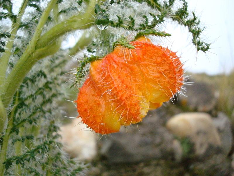 刺蓮花屬植物。圖片來源:Wiki