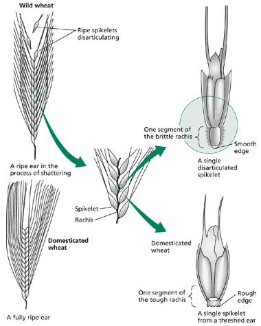 野生種與馴化種的穗軸。 圖片來源:Plant Physiology and Development, 6th ed.