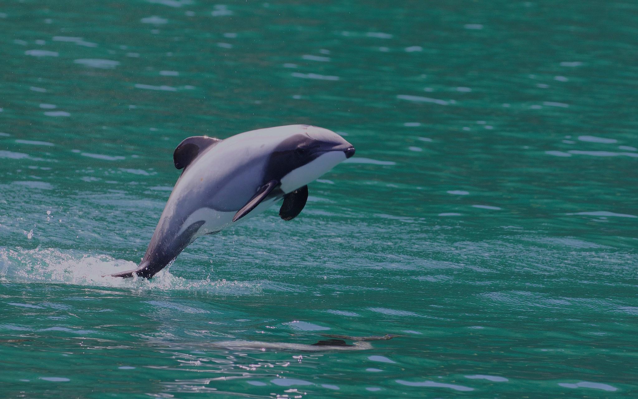 """圖一:紐西蘭特有的赫氏矮海豚。圖片來源:Gregory """"Slobirdr"""" Smith @Flickr (CC BY-SA 2.0)"""