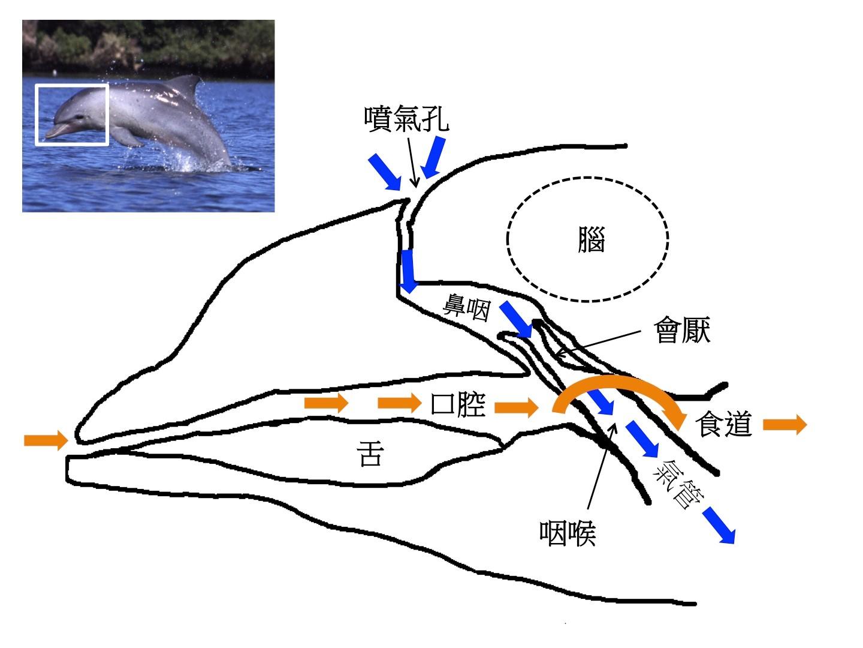圖二:鯨豚頭部解剖卡通解說圖。橘色箭頭表示食物進入腸胃道的路徑,藍色箭頭表示空氣進入肺部的路徑。圖片來源:筆者自繪,參考Dawson et al. (2016) Figure 3,左上方海豚圖取自維基百科。