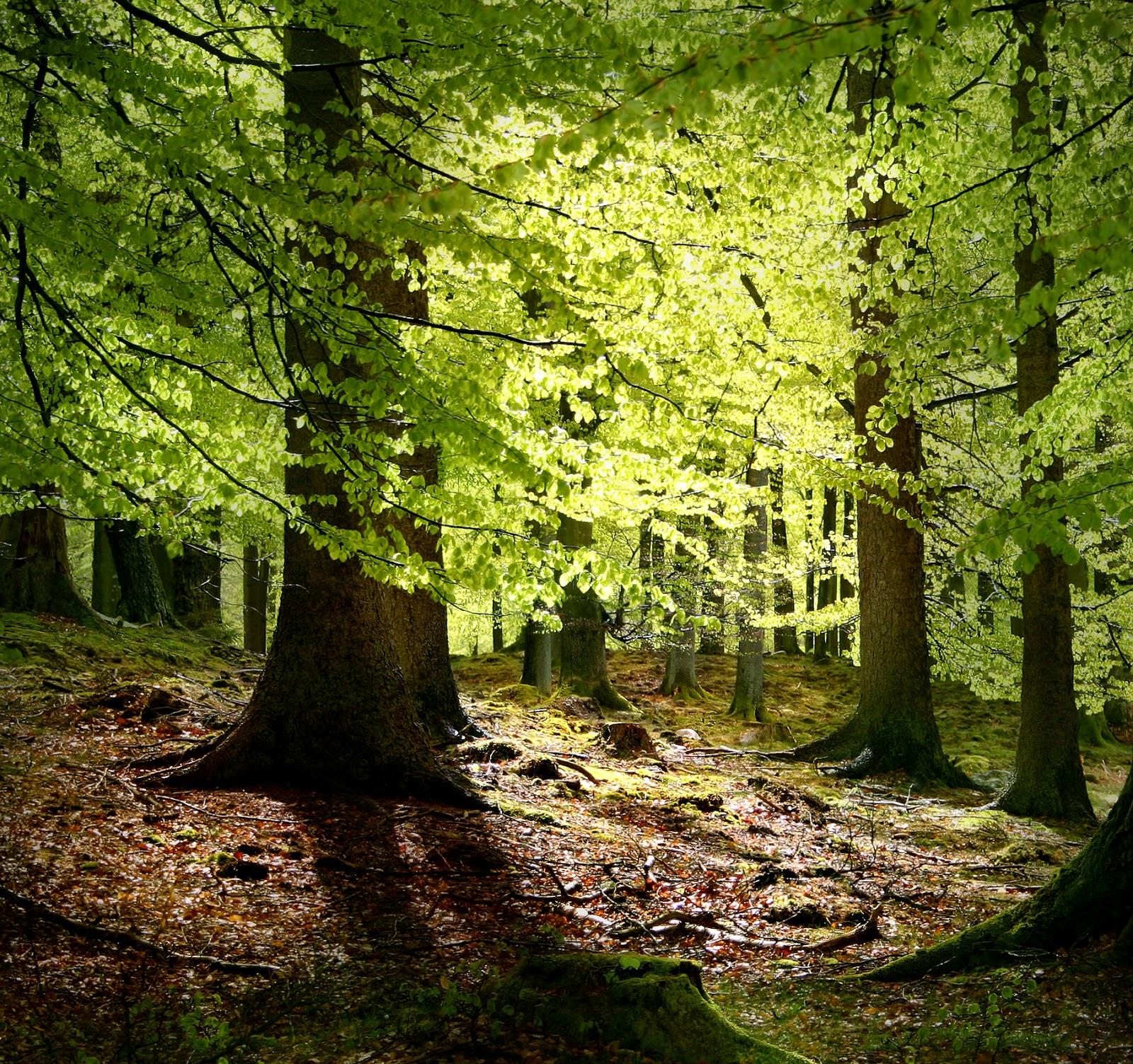 櫸木有外生菌根。圖片來源:Wiki
