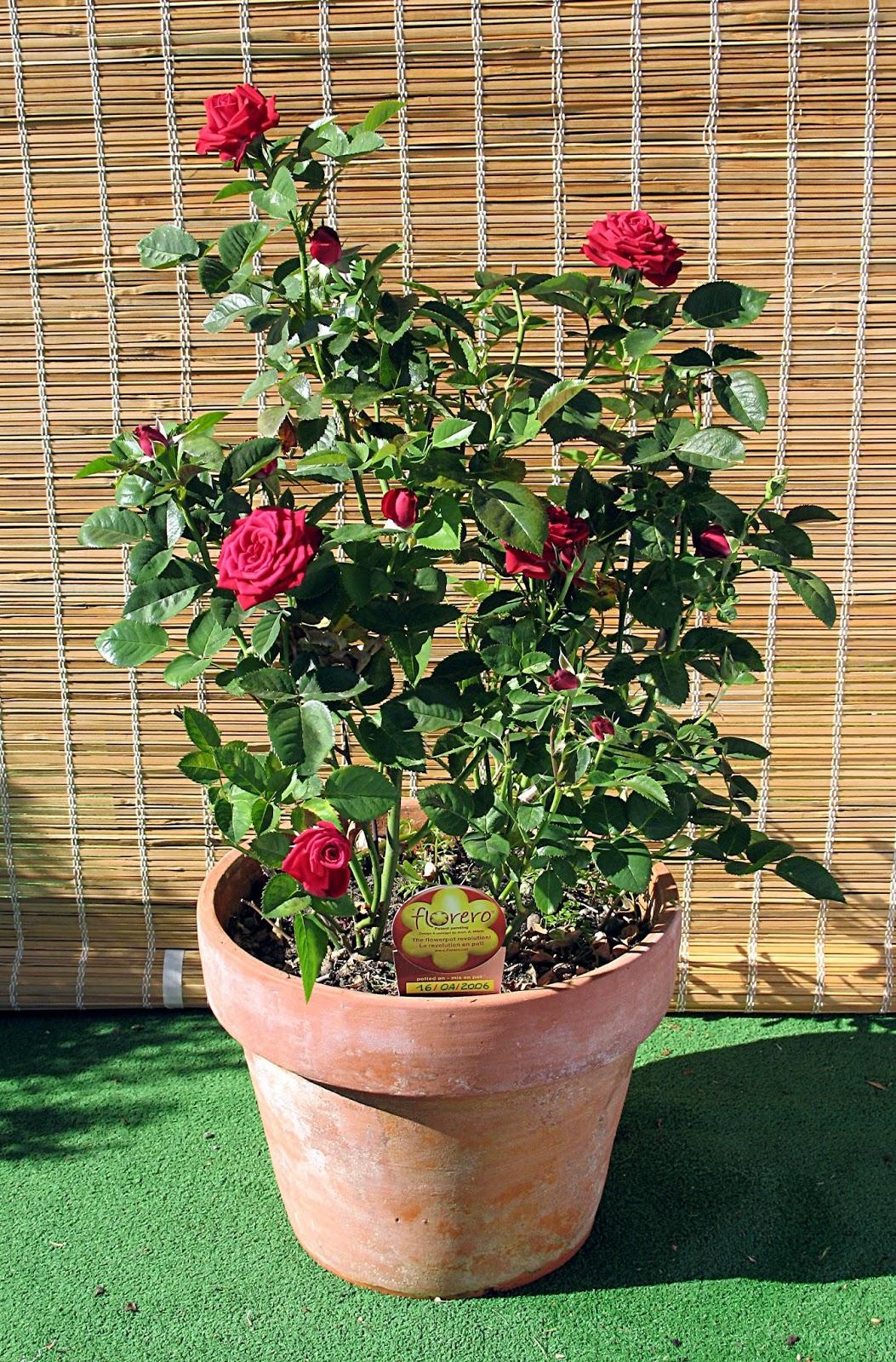 玫瑰花。圖片來源:wiki