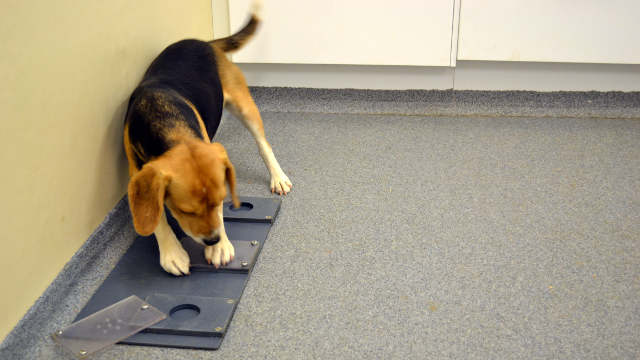 Beagle attempting to solve an unsolvable task MIA PERSSON