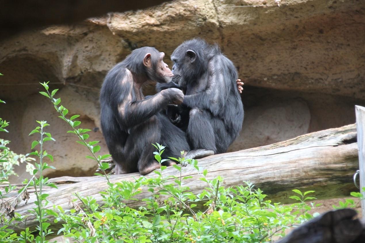黑猩猩(Pan troglodytes)