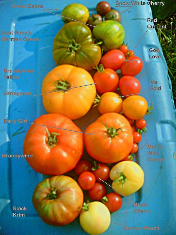 各式各樣的家傳品系蕃茄。圖片來源:Wiki