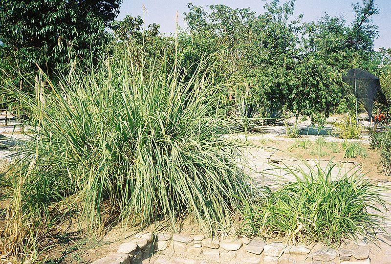 大芻草(右)。圖片來源:Wikipedia