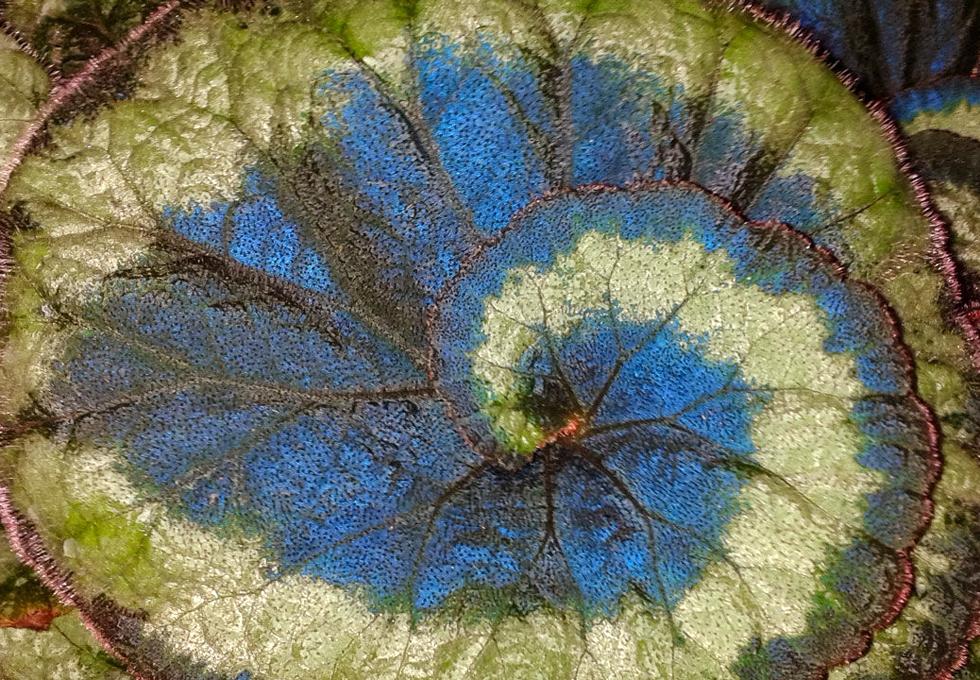 孔雀秋海棠。圖片來源:Science