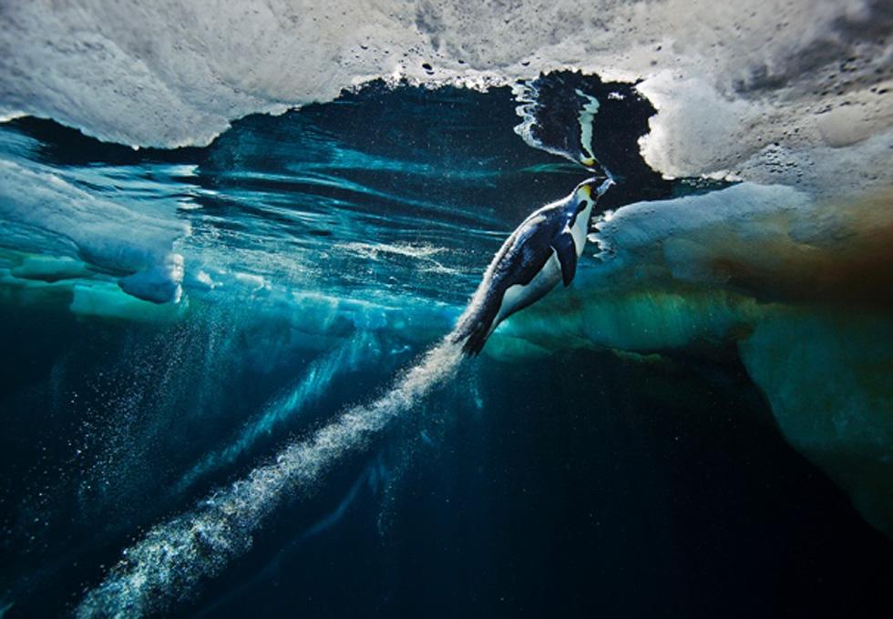 南極洲的國王企鵝