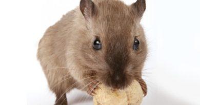 小胖鼠的焦慮根源?