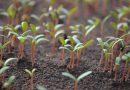 種子植物專屬反應:迅速向下扎根