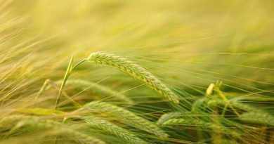從基因體研究來提升植物對氮(nitrogen)利用的效率